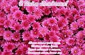 Открытка с Днем Рождения с стихотворением, цветы, розовые хризантемы