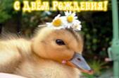 Открытка с Днем Рождения, животные, утенок и цветы