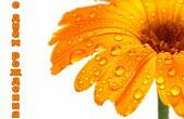 Открытка с Днем Рождения, цветы, оранжевая гербера