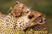 Открытка я люблю тебя, пара леопардов