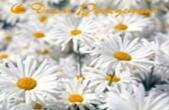 Открытка с Днем Рождения, цветы, ромашки