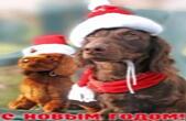 Открытка с Новым годом собаки, животные, собака-такса в шапке деда Мороза/Санты Клауса