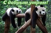 Открытка с добрым утром, животные, панды