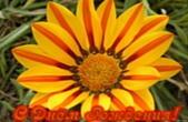 Открытка с Днем Рождения женщине, цветок